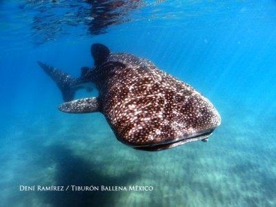 Whaleshark México